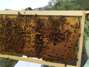 See the queen?  She's fairly easy to spot in this photo.  Most of this capped brood is worker brood, but the half dozen or so protruding a bit more is drone brood.