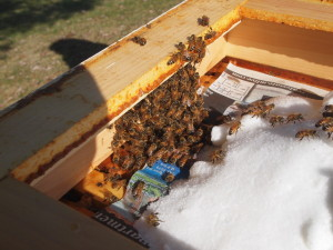 Peeked in a hive on a sunny day, and they were appreciative of the sugar.