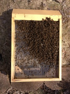 Their lives shortened by mites feeding on them, bees fall from the frames and accumulate on the bottom board during winter. Too many died prematurely to keep the cluster warm until spring returned.