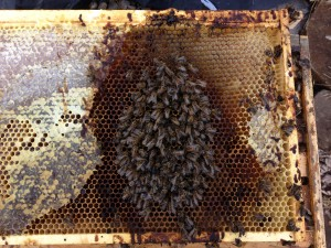 As cluster size diminished from the prematurely dying bees, the remaining bees likely froze or starved to death. There were not enough of them to move to the oh-so-close honey, and the poop stains suggest they were ill.