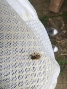 Before removing protective wear, be sure and check for hitchhikers, like this little gal with carrying pollen.