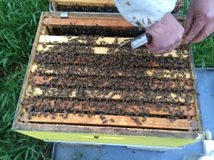 If you see this many bees, chances are they're ready for expansion.