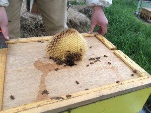 "There was a feeder jar up here, surrounded by a hive body. They'd run out of room and started building in the ""attic."""