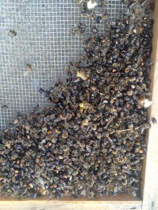 Dismembered bees after a robbing frenzy :(