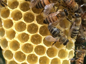 A properly laying queen will have one egg placed at the bottom of most cells of the brood area. This photo shows eggs haphazardly laid by laying worker bees; the colony has no future.